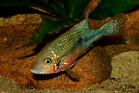 Mexican Fire Mouth (Thorichthys ellioti) - Male Stock Photo - 7110497