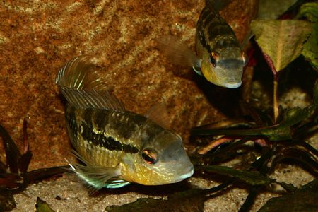 large cichlid: Cichlid (Bujurquina spec.) - Couple at the clutch