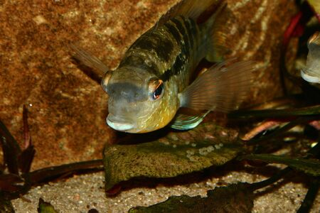 large cichlid: Cichlid (Bujurquina spec.) - Male at the clutch