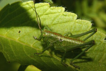 biotope: Early larval stage of the large green grasshopper (Tettigonia viridissima) in the biotope