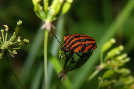 Strip bug (Graphosoma lineatum) on a blossom photo