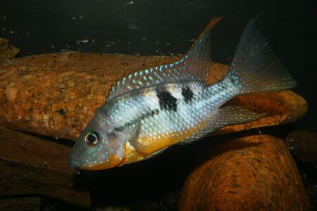 large cichlid: Mexican Fire Mouth (Thorichthys affinis) - Males with juveniles
