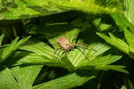 nursery web spider: Nursery web spider (Pisaura mirabilis) - Female on a leaf