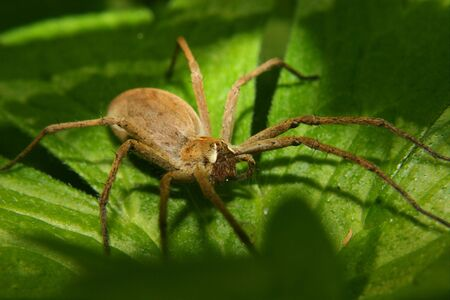 pisaura mirabilis: Nursery web spider (Pisaura mirabilis) - Female on a leaf