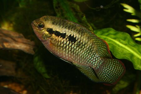 cichlid: Red dots cichlid (Laetacara dorsigera) - Male  Stock Photo