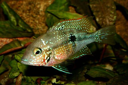 large cichlid: Mexican Fire Mouth (Thorichthys ellioti) - Female