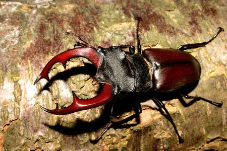 Stag beetle (Lucanus cervus) - Male on a tree trunk Stock Photo