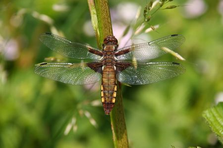 predatory insect: Broad-bodied Chaser (Libellula depressa) - Female on a branch