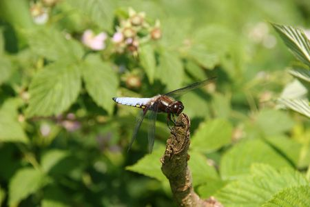 predatory insect: Broad-bodied Chaser (Libellula depressa) - Male on a branch Stock Photo