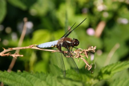 libellula: Broad-bodied Chaser (Libellula depressa) - Male on a branch Stock Photo