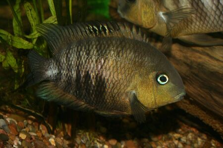 large cichlid: Blue Eyed Cichlid (Cryptoheros spilurus) - female at the clutch Stock Photo