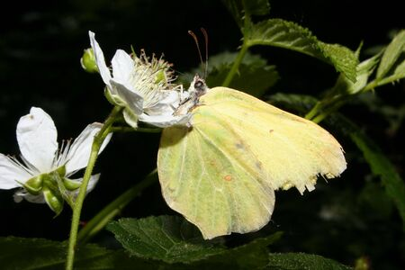 Decrepit Common Brimstone (Gonepteryx rhamni) on a plant Stock Photo - 7204023