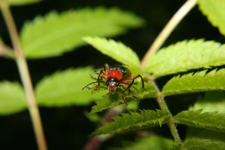 cantharis: Soldier beetle (Cantharis fusca) on a leaf - Portrait