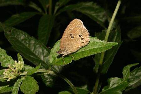 The Ringlet (Aphantopus hyperantus) on a leaf Stock Photo - 7204042