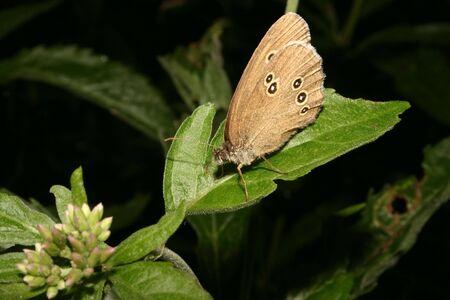 hyperantus: The Ringlet (Aphantopus hyperantus) on a leaf