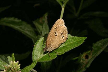 aphantopus: The Ringlet (Aphantopus hyperantus) on a leaf