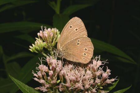 The Ringlet (Aphantopus hyperantus) on a leaf Stock Photo - 7204041