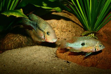 large cichlid: Mexican Fire Mouth (Thorichthys ellioti) - Couple Stock Photo
