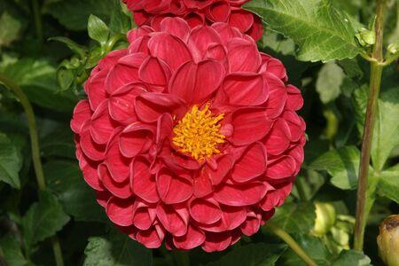 Closeup of a dahlia flower photo