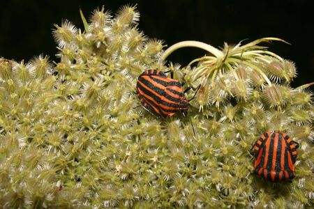 Strip bugs (Graphosoma lineatum) on a blossom Stock Photo - 7291238