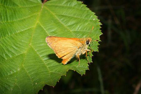 skipper: Small Skipper (Thymelicus sylvestris) on a leaf