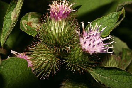 Inflorescence a Burdock (Arctium)