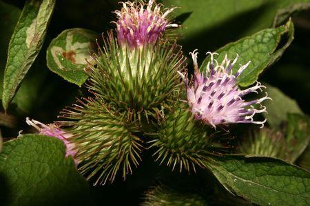 inflorescence: Inflorescence a Burdock (Arctium)