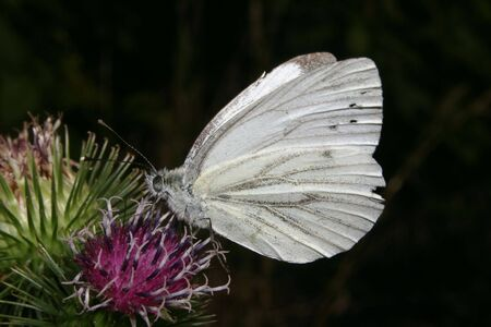 pieris: Small White (Pieris rapae) on a plant