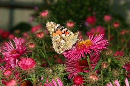 vanessa: Painted Lady (Vanessa cardui) on a flower
