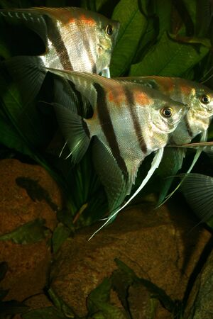 scalare: Angelfish (Pterophyllum scalare) in the fish tank