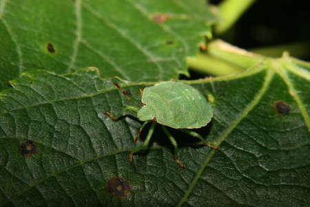 green shield bug: Larva of a Green shield bug (Palomena prasina) on a plant Stock Photo