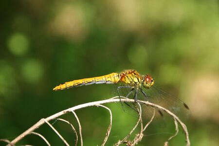 predatory insect: Common Darter (Sympetrum striolatum) - female on a branch Stock Photo