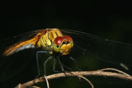 predatory insect: Common Darter (Sympetrum striolatum) - female on a branch - Portrait