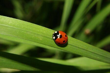 septempunctata: Ladybird beetle (Coccinella septempunctata) on a plant