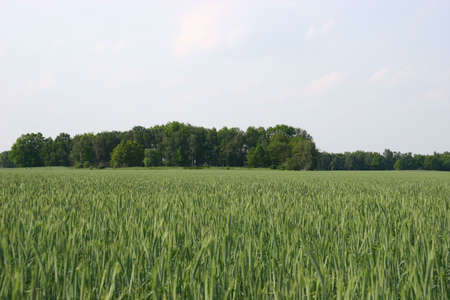 Corn field with one forest island Stock Photo - 7456753