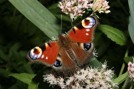 inachis: European Peacock (Inachis io) on a flower
