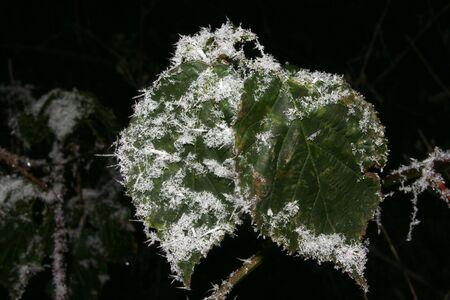 desolaci�n: Dos hojas en invierno, con heladas ocupada  Foto de archivo