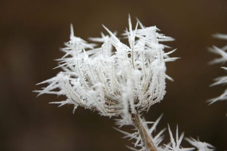 withered flower: Staffed with frost withered flower in winter Stock Photo