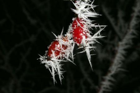 desolaci�n: Dos en la escarcha ocupada con frutas de la cadera de Rosa de invierno  Foto de archivo