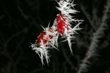 bleakness: Two in the rime occupied with fruits of the rose hip Winter