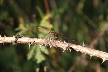 Ruddy Darter (Sympetrum sanguineum) - female on a branch - Portrait
