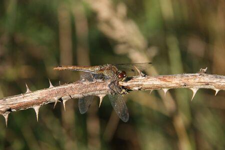 darter: Ruddy Darter (Sympetrum sanguineum) - female on a branch