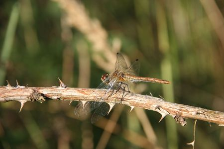 predatory insect: Ruddy Darter (Sympetrum sanguineum) - female on a branch