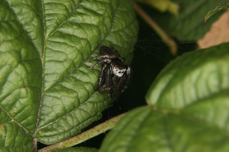 jumping spider: Jumping spider (Salticidae) when eating their pray