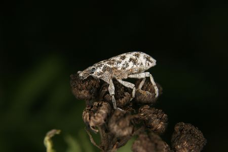 Weevil (Curculio) on a plant