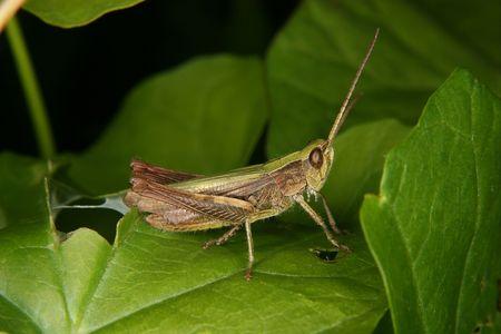 chorthippus: Field grasshopper (Chorthippus apricarius) - females on a plant