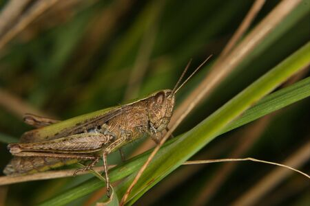 chorthippus: Field grasshopper (Chorthippus apricarius) on a leaf  Stock Photo