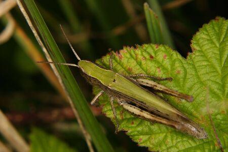 chorthippus: Field grasshopper (Chorthippus apricarius) e on a leaf