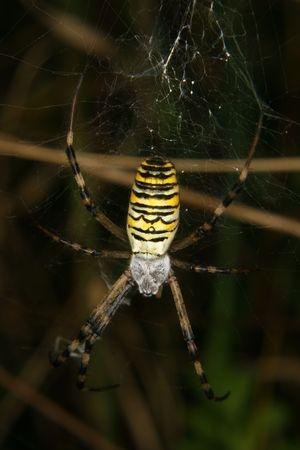 Wasp spider (Argiope bruennichi) in their Net photo