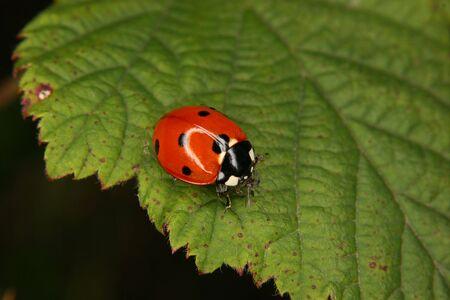 septempunctata: Ladybird beetle (Coccinella septempunctata) on a fly to eat on a sheet Stock Photo